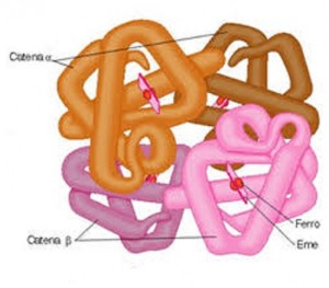 struttura emoglobina